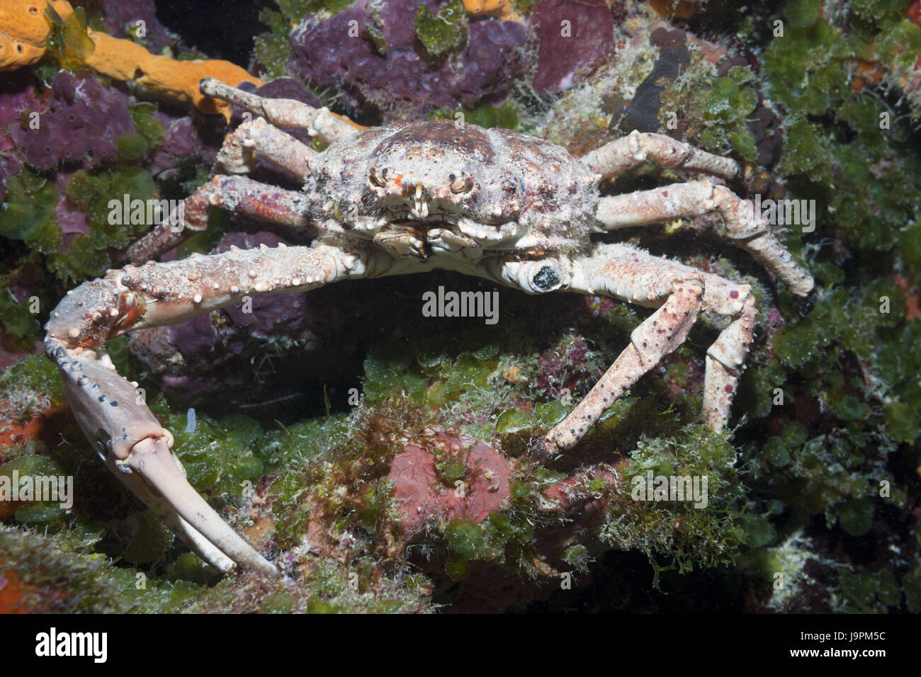 Spiny spinning crab,Mithrax spinosissimus,Cozumel,the Caribbean,Mexico, Stock Photo