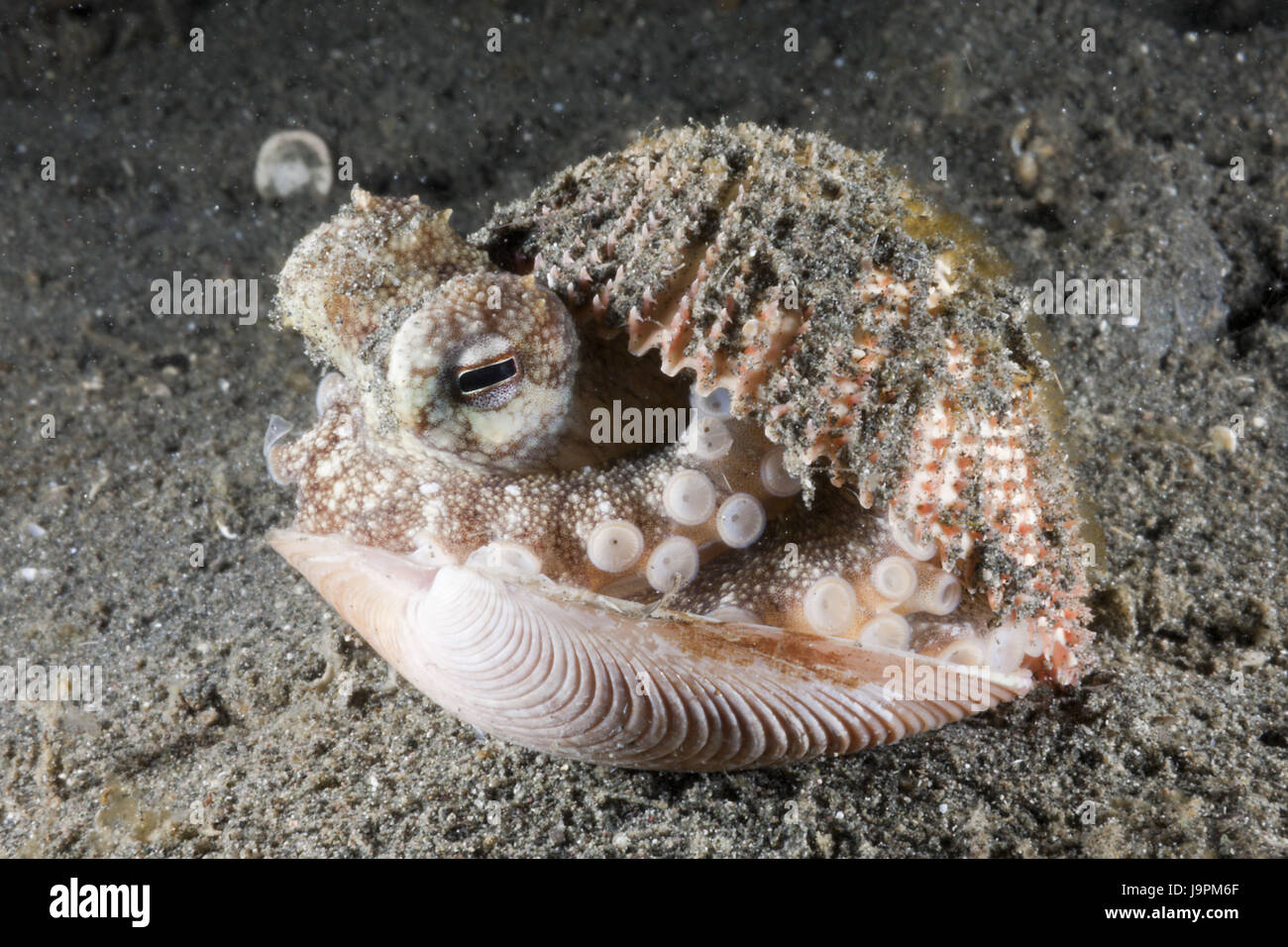 Grained octopus hides himself in mussel,Octopus marginatus,Lembeh Strait,the north Sulawesi,Indonesia, - Stock Image