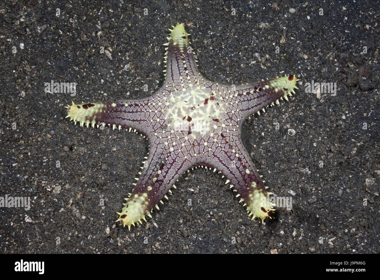 Starfish on Sand ground,Lembeh Strait,the north Sulawesi,Indonesia, - Stock Image