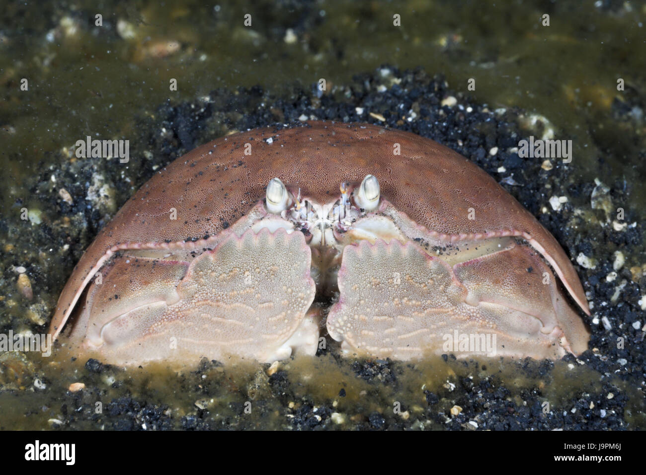 Pubic crab,Calappa calappa,Lembeh Strait,the north Sulawesi,Indonesia, - Stock Image