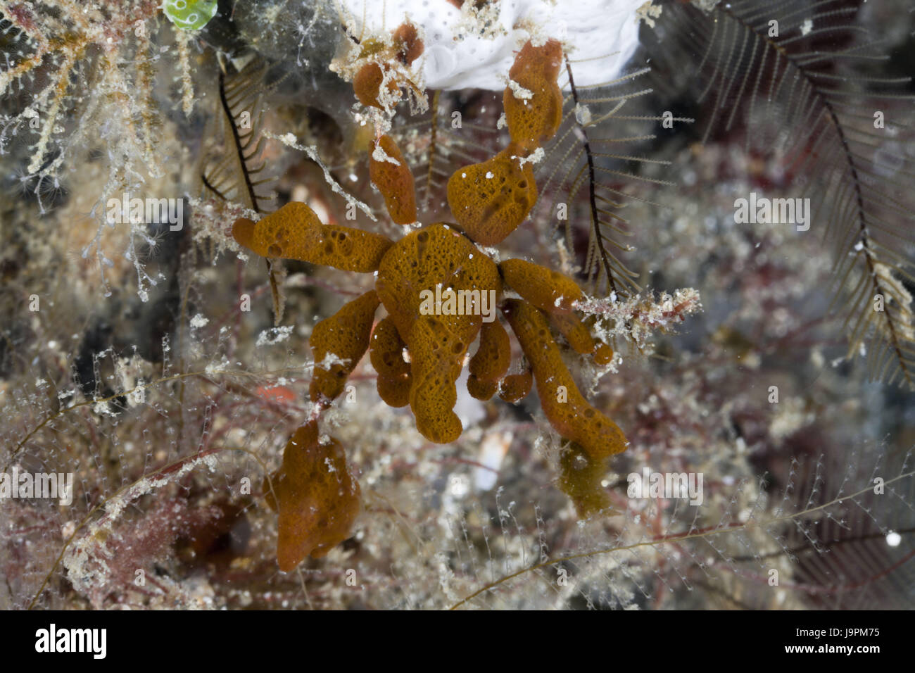 Spinning crab camouflages herself with fungus,Majidae,Lembeh Strait,the north Sulawesi,Indonesia, Stock Photo