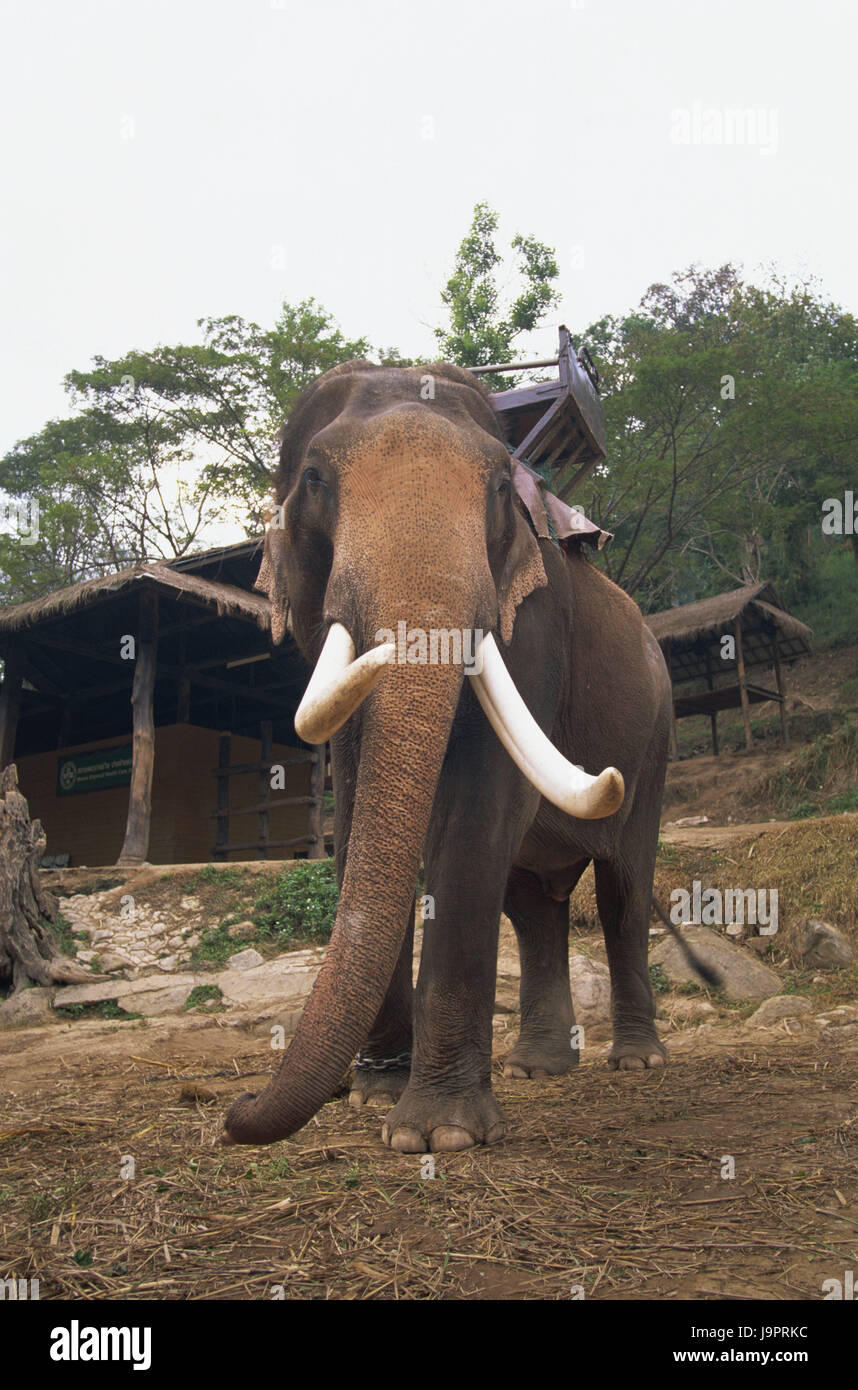 Thailand,Chiang May,Mae Sa Elephant Camp,elephant,Asia,Nordthailand,place of interest,animal,mammal,pachyderm,trunk,tusks,ecotourism,tourism,destination,deserted,whole - Stock Image