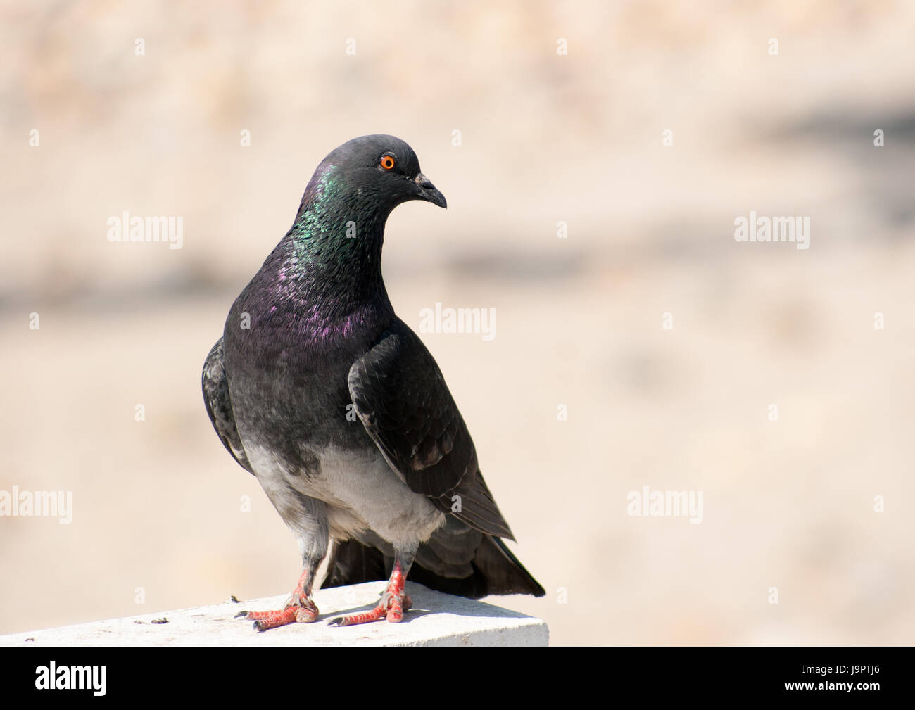 A lone very colorful pigeon sitting on a wood beam close to a beach - Stock Image