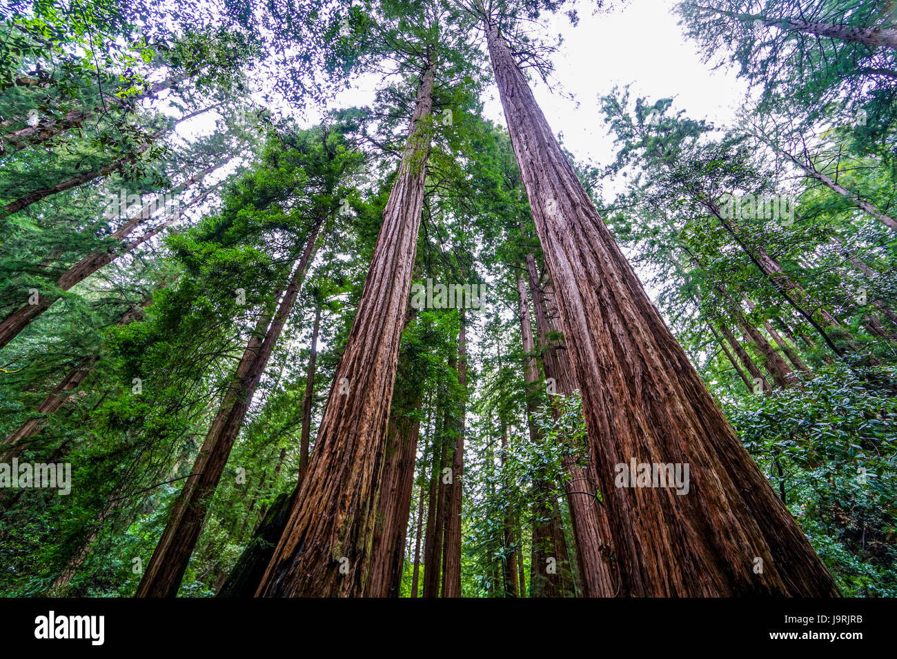 The giant trees of the Redwood Forest - Stock Image