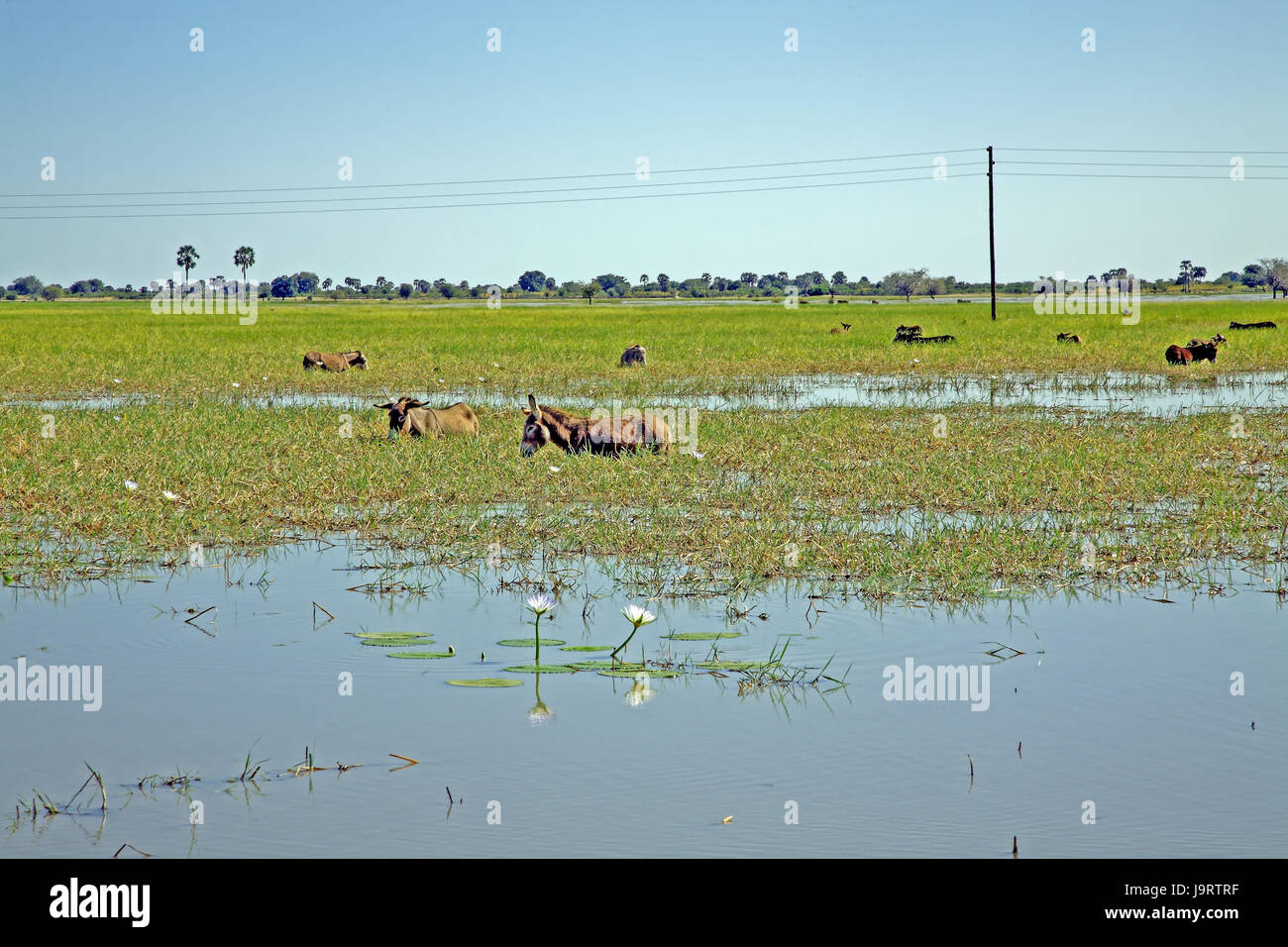 South-West Africa,Namibia,Nordnamibia,Owamboland,flood country,high water,Angola,donkey focuses,graze, - Stock Image