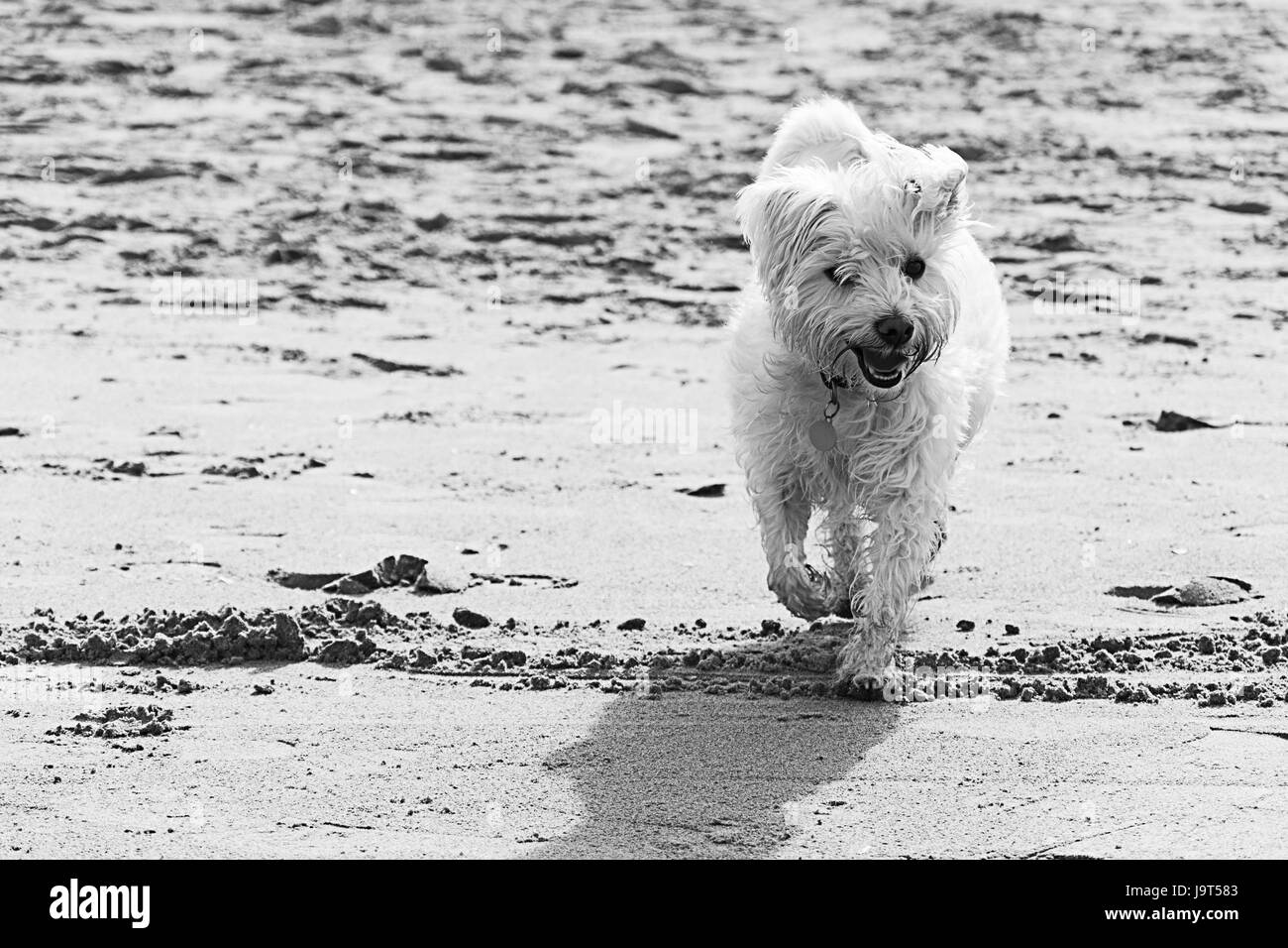 Dogs on  the beach at New Brighton Wirral Merseyside UK - Stock Image
