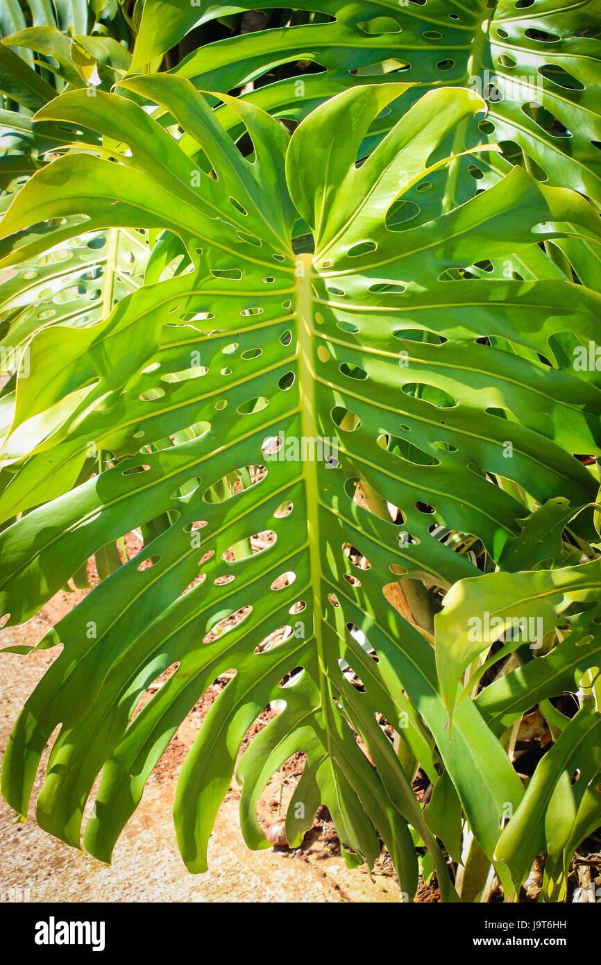Monstera Leaf (Monstera deliciosa) - Stock Image