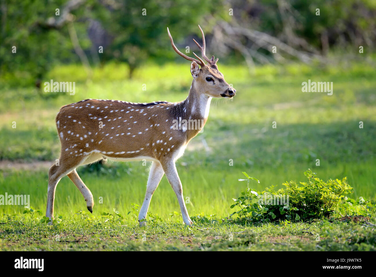 Wild Spotted deer in Yala National park, Sri Lanka - Stock Image