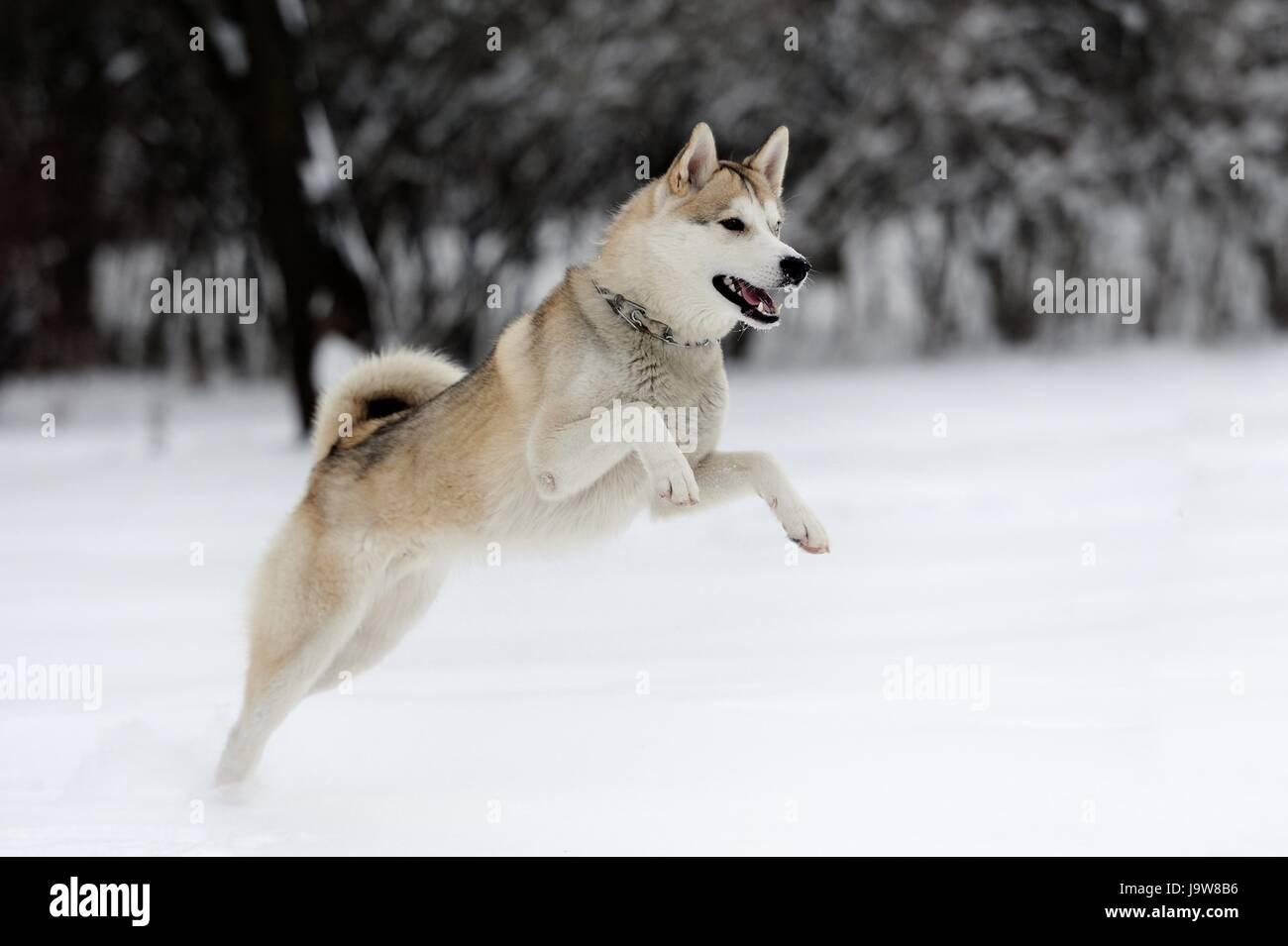 Young Siberian Husky Dog In Snow Stock Photo 143770234 Alamy