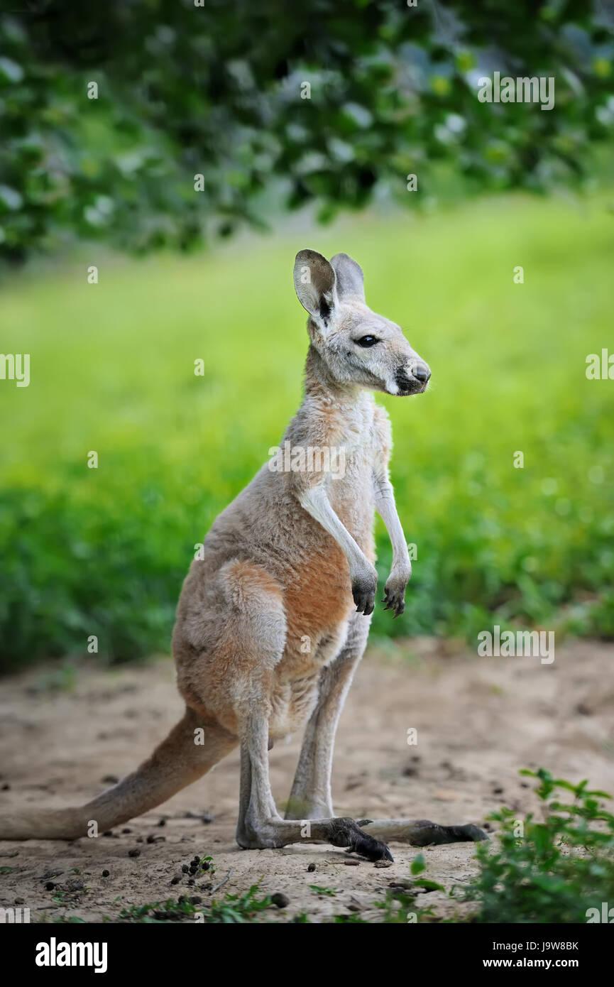 Baby australian western grey kangaroo - Stock Image