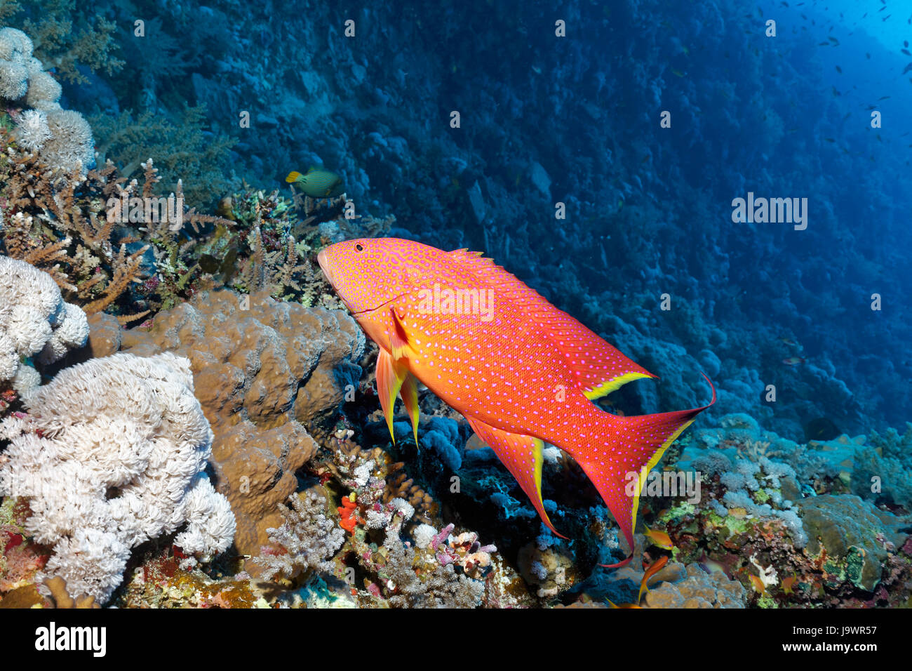 Yellow-edged lyretail (Variola louti) swimming over coral reef, Red Sea, Egypt - Stock Image