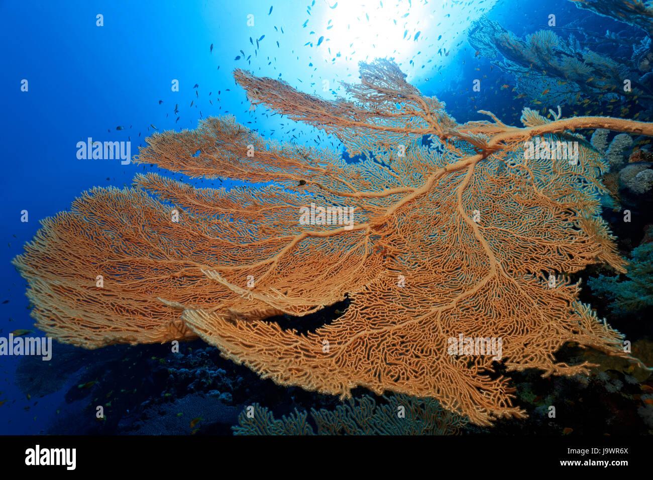 Giant sea fan (Annella mollis) backlit, sun, Red Sea, Egypt - Stock Image