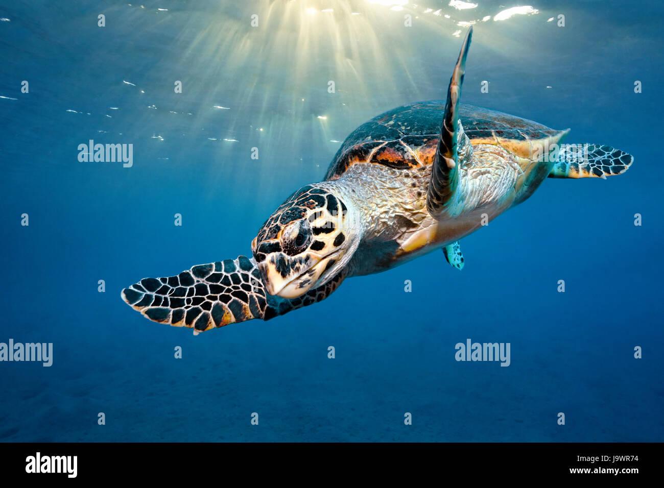 Loggerhead sea turtle (Caretta Caretta), sunlight under the ocean surface, Red Sea, Egypt Stock Photo