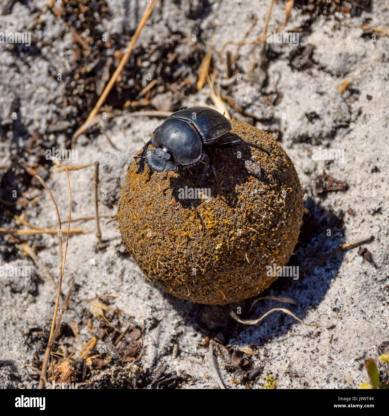 A Green Grooved Dung Beetle on a dungball in Southern Africa Stock Photo