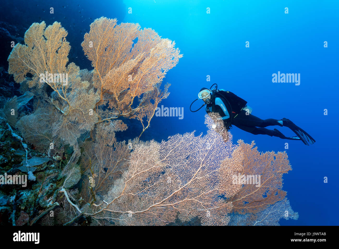 Divers looking at large gorgonian fan (annella mollis), soft coral, Red Sea, Egypt - Stock Image