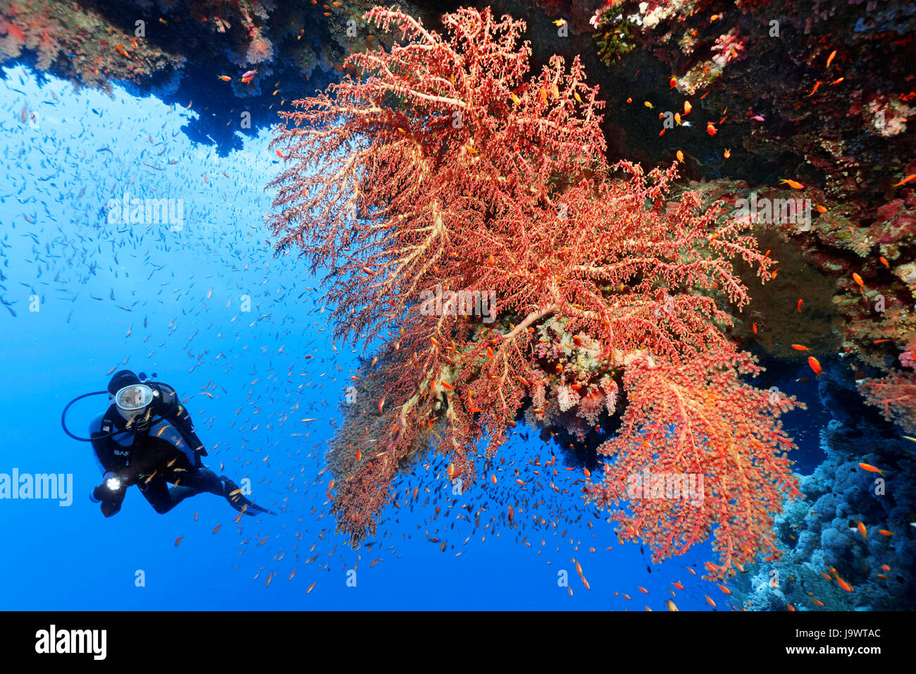 Diver looking at large soft coral fan (Siphonogorgia godeffroyi) Red sea, Egypt - Stock Image