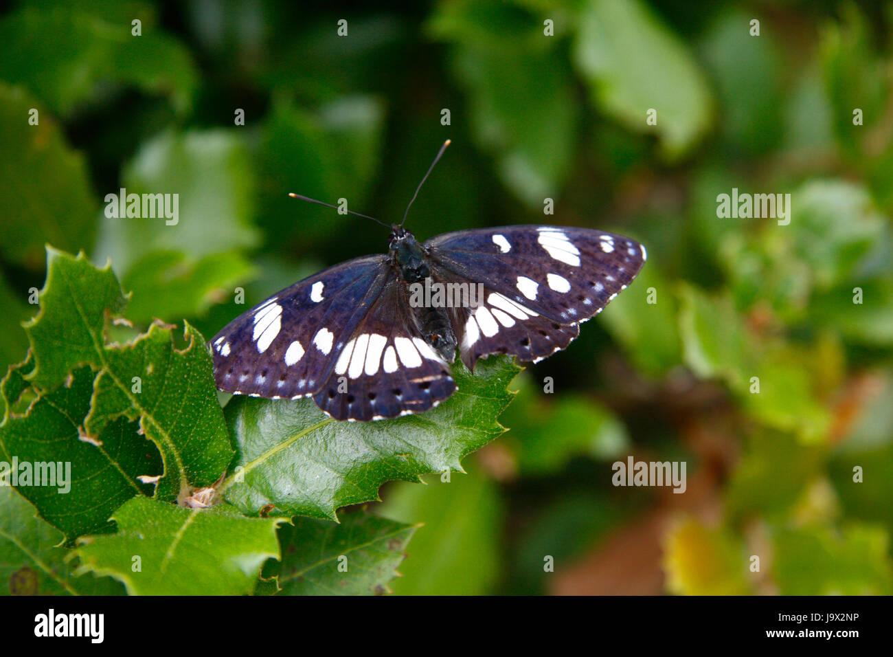 Impressionen: Schmetterling, Kosika, Frankreich. - Stock Image