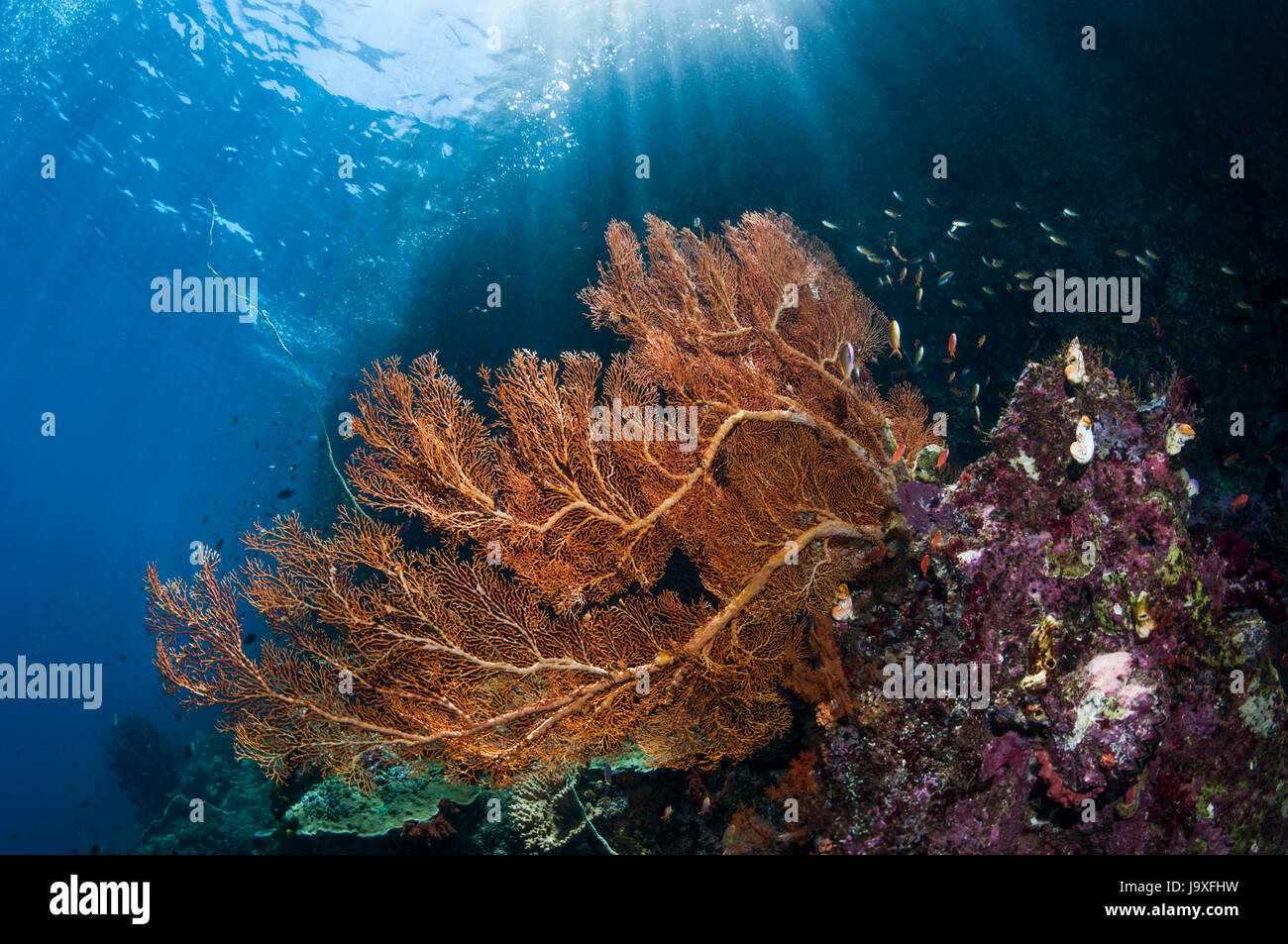Gorgonian [Annella mollis] on reef slope.  West Papua, Indonesia. Stock Photo