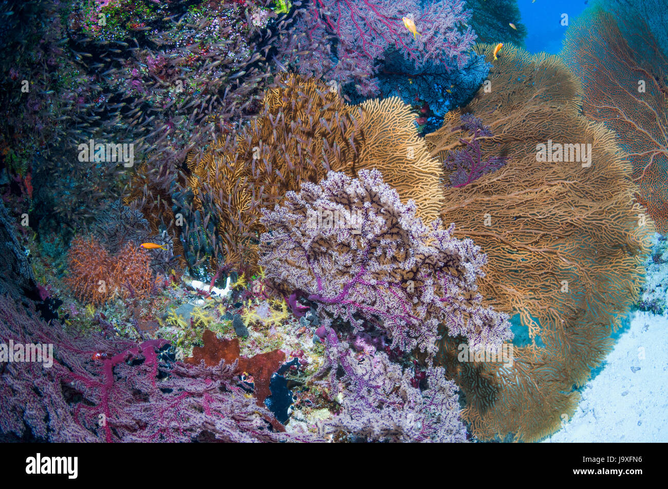 Gorgonians and Pygmy sweepers on coral reef.  Similan Islands, Andaman Sea, Thailand. - Stock Image