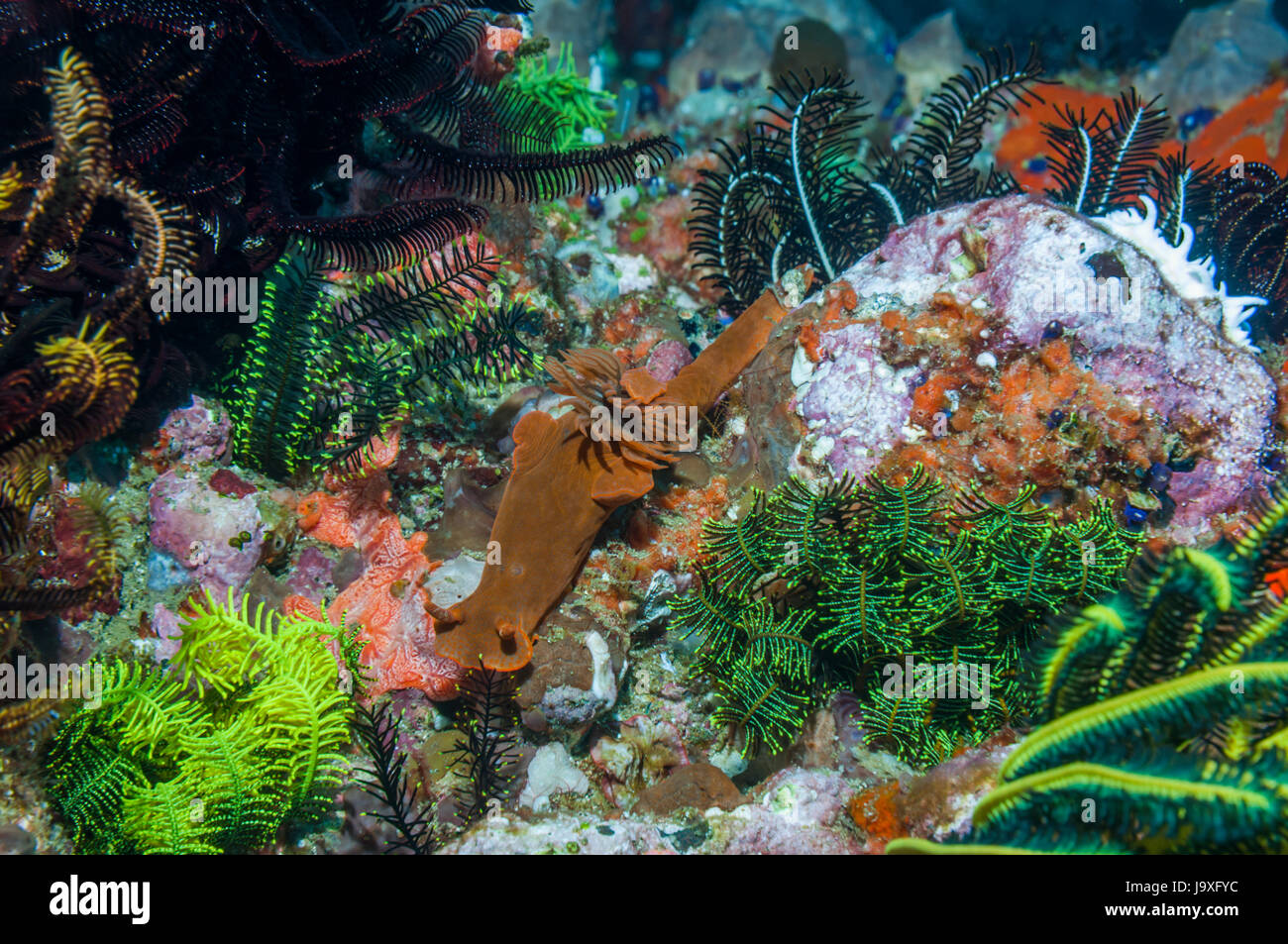 Nudibranch [Ceratosoma gracillimum] on coral reef with sea squiirts and feather stars.  Indonesia. - Stock Image