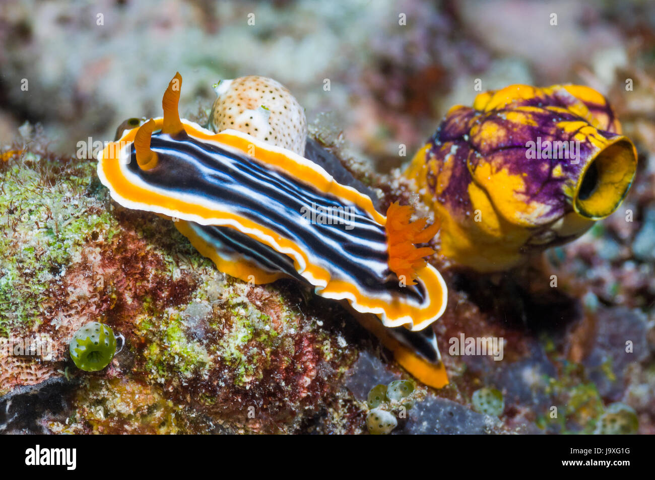 Nudibranch - Chromodoris magnifica crawling past a Golden sea squirt [Polycarpa aurata].  Lembeh, Sulawesi, Indonesia. Stock Photo