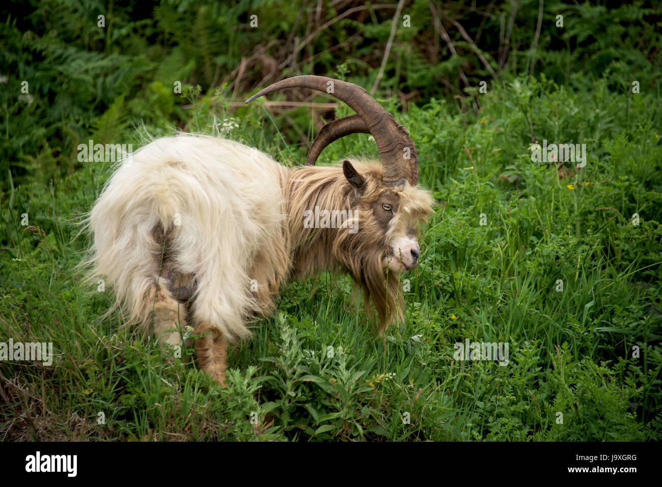 Welsh Mountain Goat on coastal region of North Wales, Snowdonia. - Stock Image