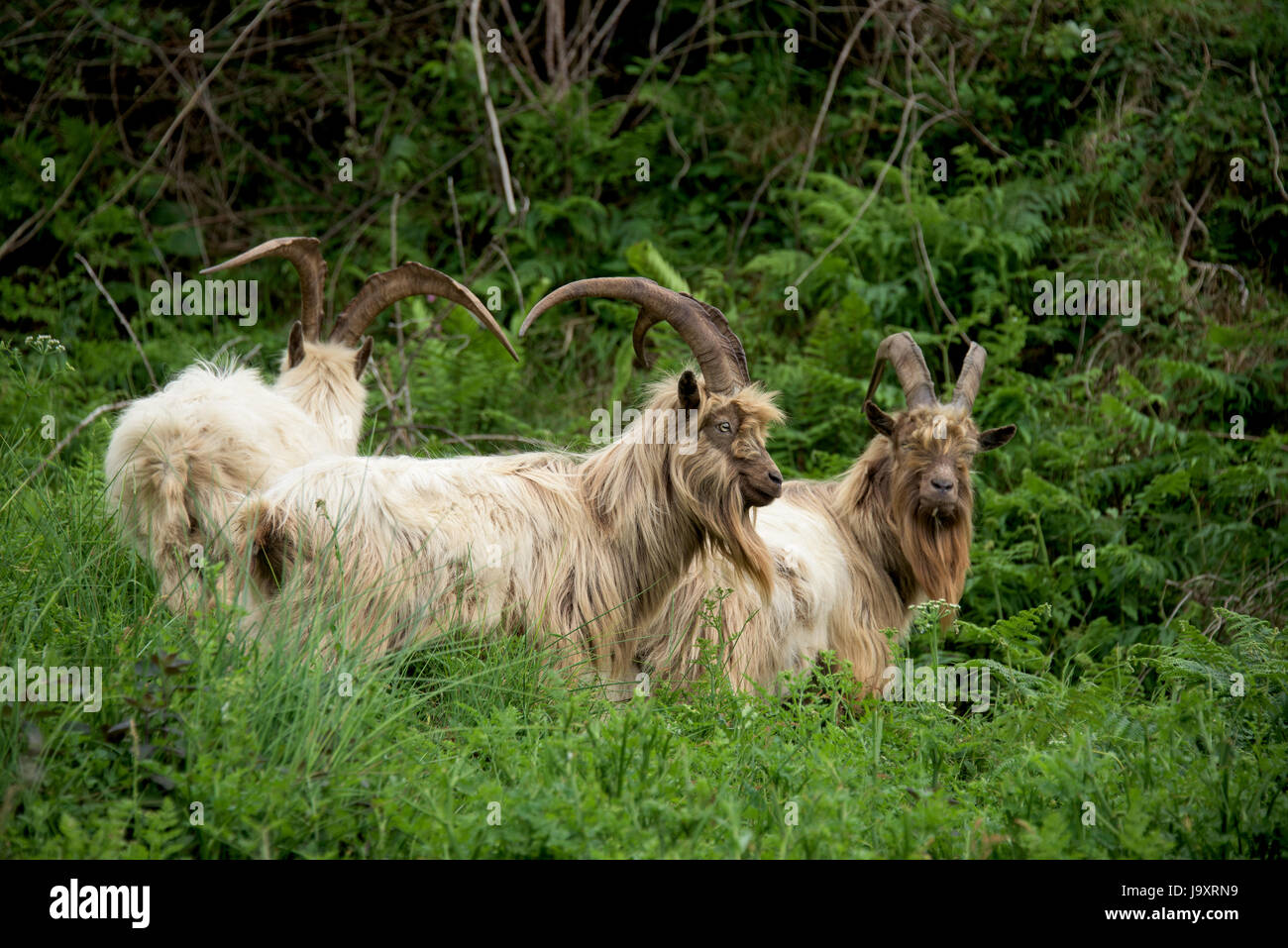 Herd of feral goats in North Wales Snowdonia region, UK - Stock Image