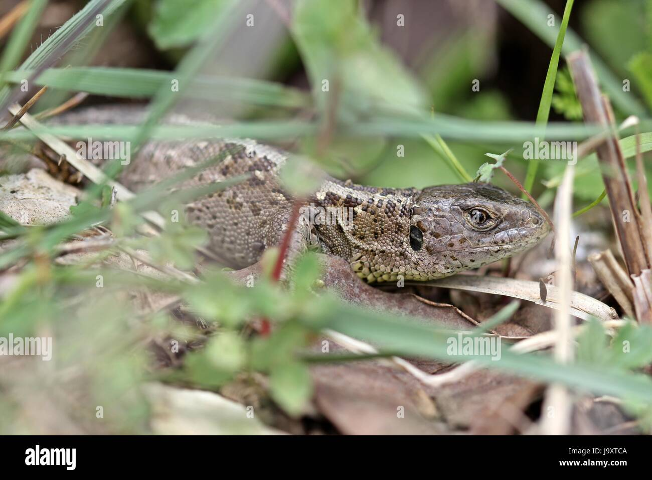 female, lizard, tick, ticks, protected, sheltered, female, plant, reptile, - Stock Image
