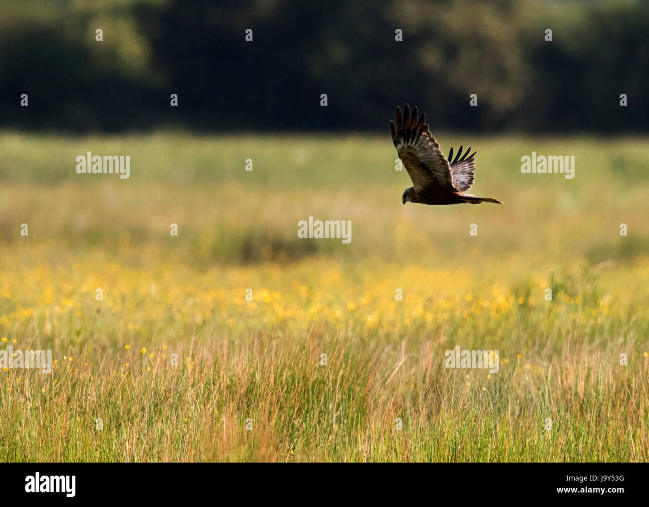 A female Marsh Harrier (Circus aeruginosus) searching for prey, Oxfordshire Stock Photo