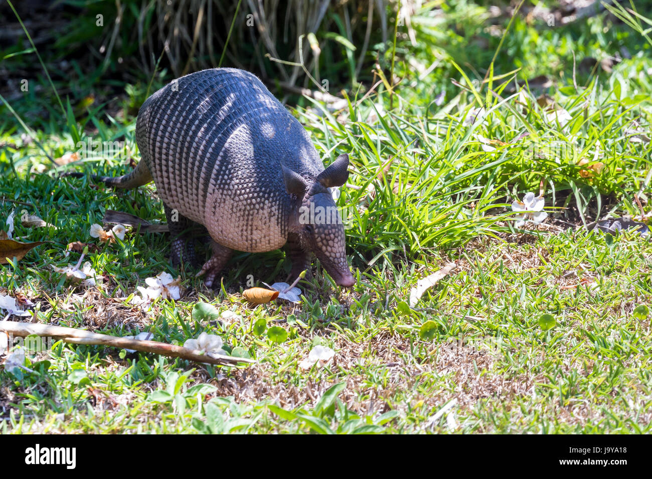 close up of a nine banded armadillo in a yard looking for insects on the ground. - Stock Image