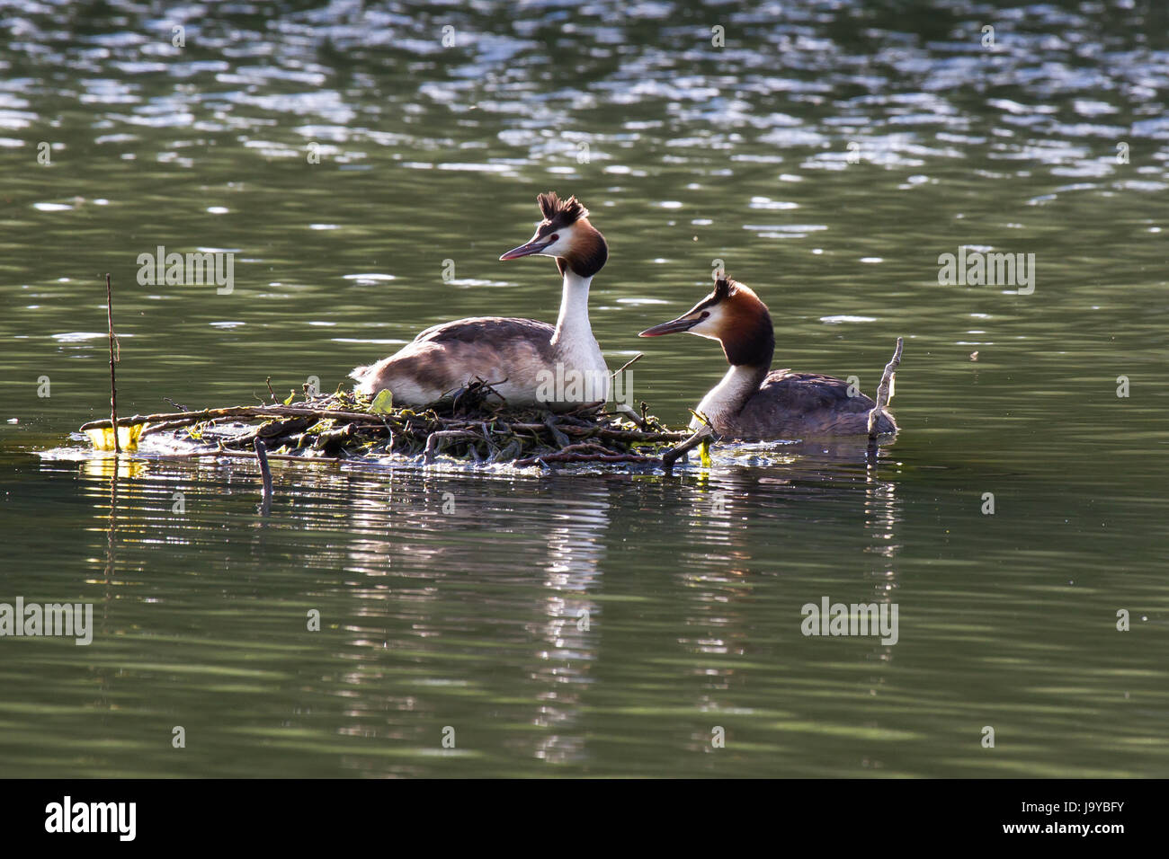great crested grebe pair,crested grebes couple - Stock Image