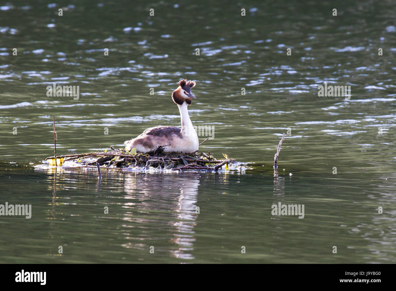 great crested grebe 2,crested grebes 2 - Stock Image