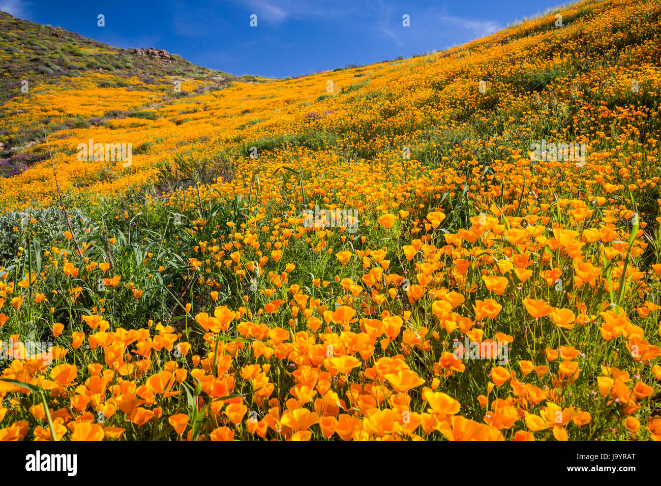 The spring poppy fields in Walker Canyon near Lake Elsinore, California, USA. - Stock Image