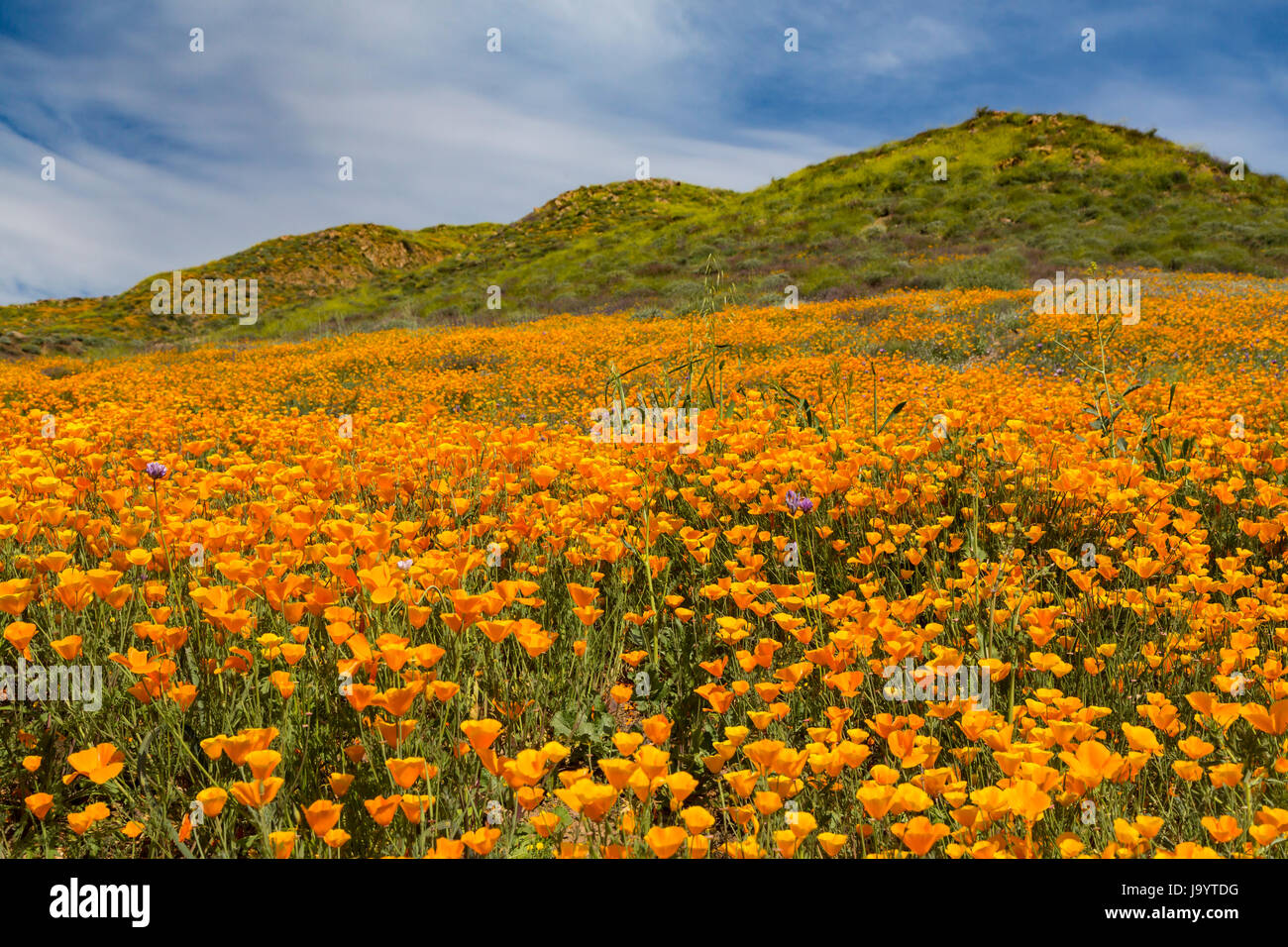 The spring poppy fields in Walker Canyon near Lake Elsinore, California, USA. Stock Photo