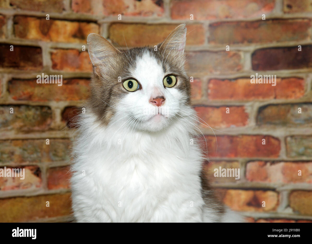 Portrait of  white and tan medium haired tabby cat looking to viewers right. Rusty red brick wall background. - Stock Image