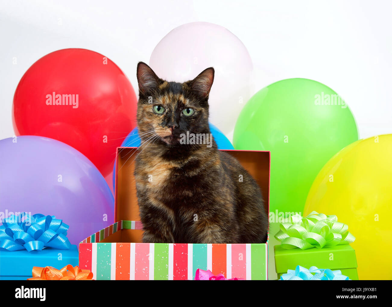 Tortie Torbie Tabby Cat Sitting In A Birthday Present Box Surrounded By Colorful Presents And Bright Balloons Surprise Party