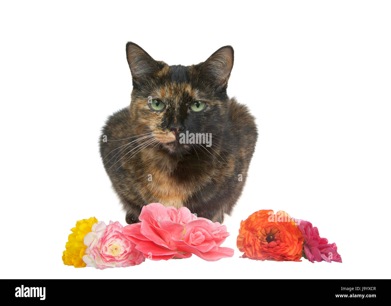 One tortie torbie tabby cat crouched down with flowers in front of her. Isolated on a white background. - Stock Image