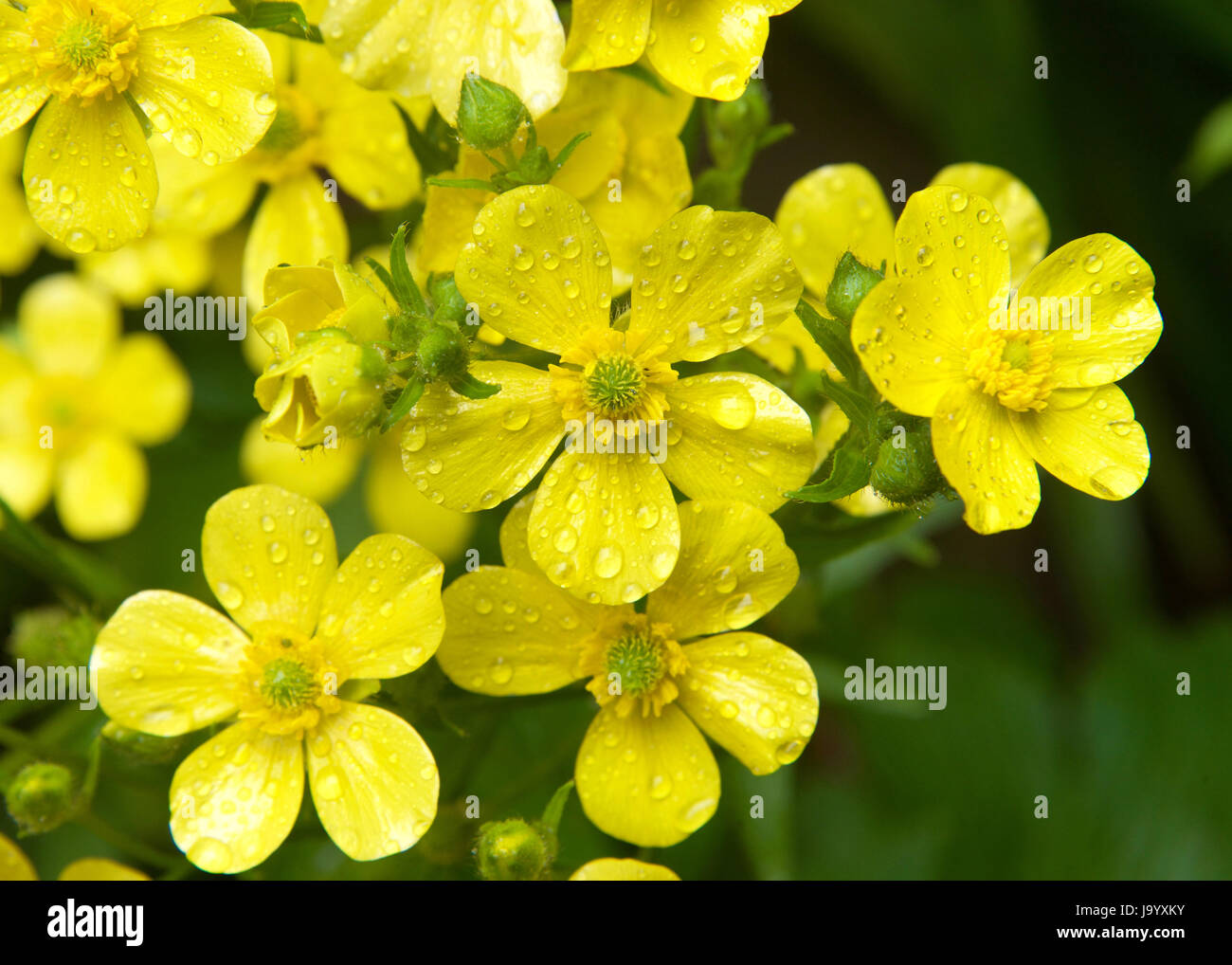 Yellow spring flower five petals stock photos yellow spring flower yellow flower with five petals hkjgm8 rf ranunculus cortusifolius also known as the azores buttercup or canary buttercup is a plant mightylinksfo