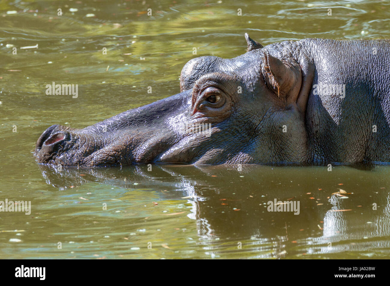 Image of a large mammal of a wild animal, hippopotamus in water - Stock Image