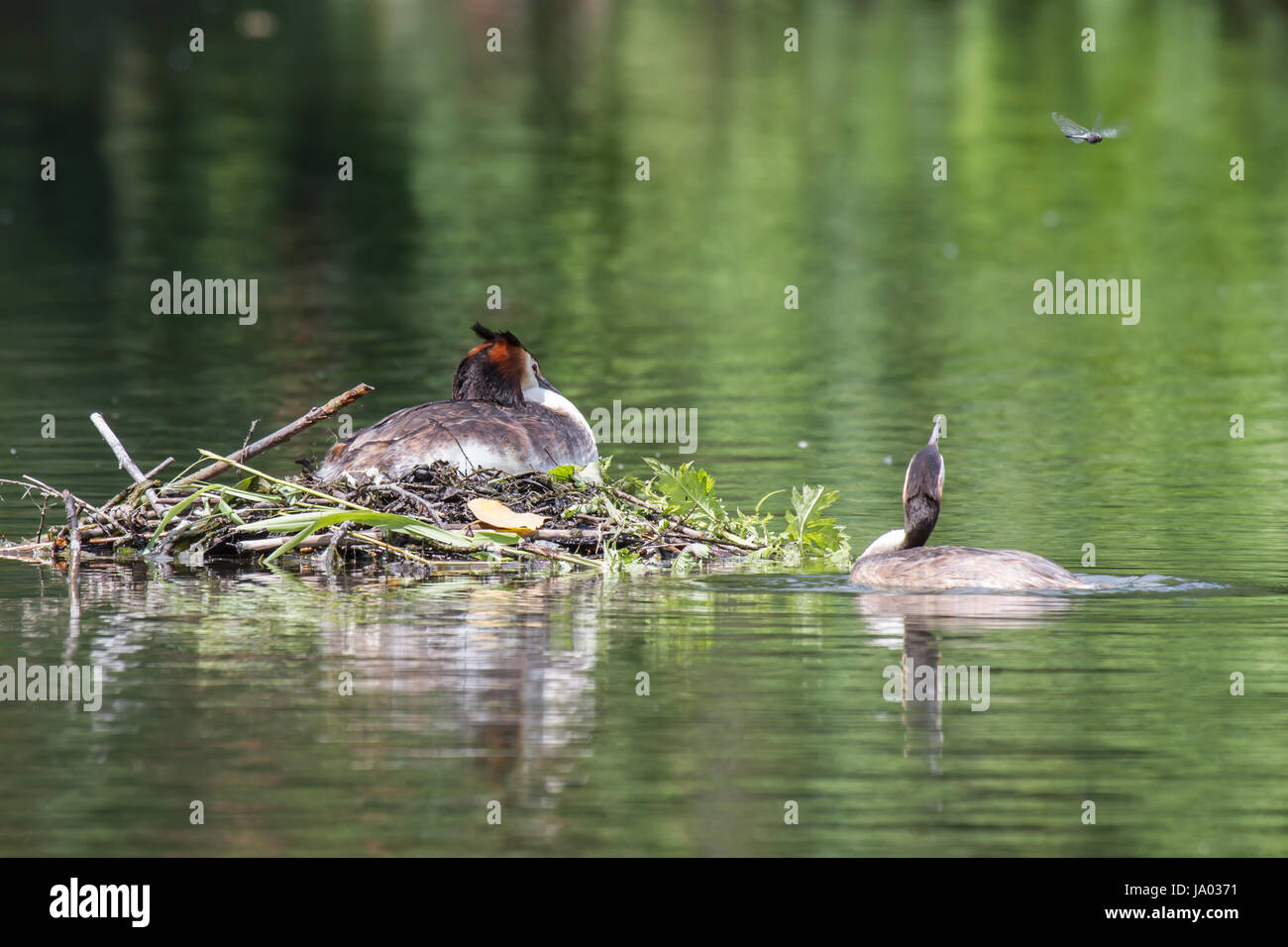 great crested grebe pair and dragonfly,crested grebes couple and dragonfly - Stock Image