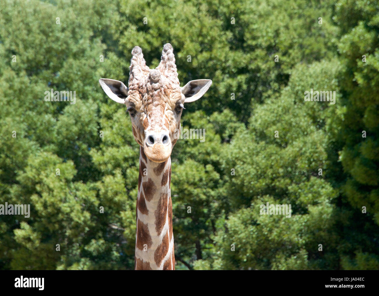 Portrait of a giraffe looking directly at viewers. Tall green leafy trees in the background. - Stock Image