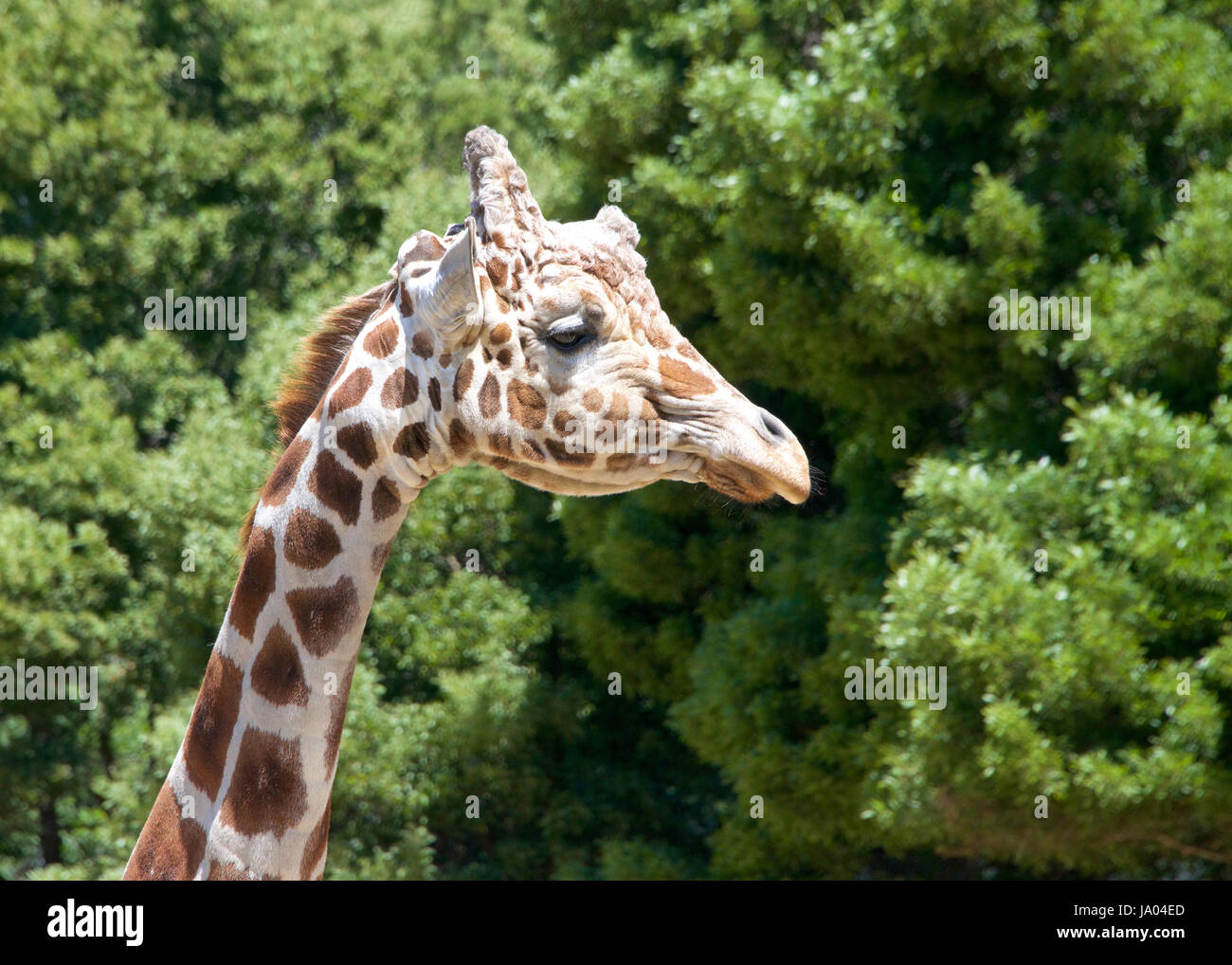 Portrait of a giraffe looking to viewers right. Tall green leafy trees in the background. - Stock Image