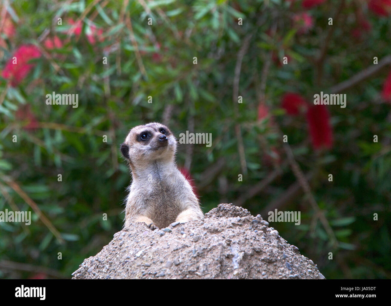 One meerkat peeking out of a hole in a rocky hill looking out for predators. The meerkat or suricate (Suricata suricatta) - Stock Image