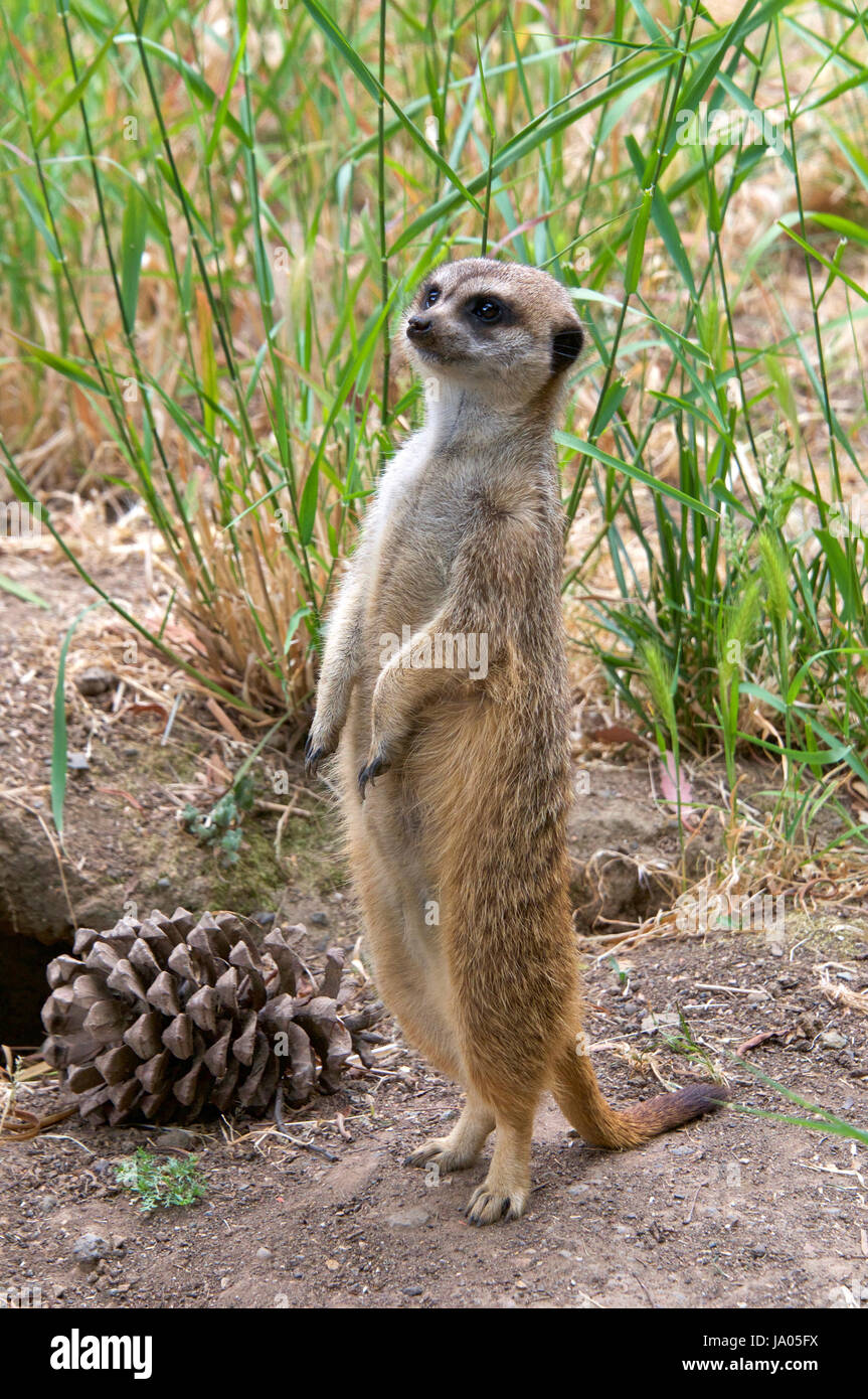 One meerkat standing on hind legs looking for predators, tall grass in the background one large pine cone by it's - Stock Image