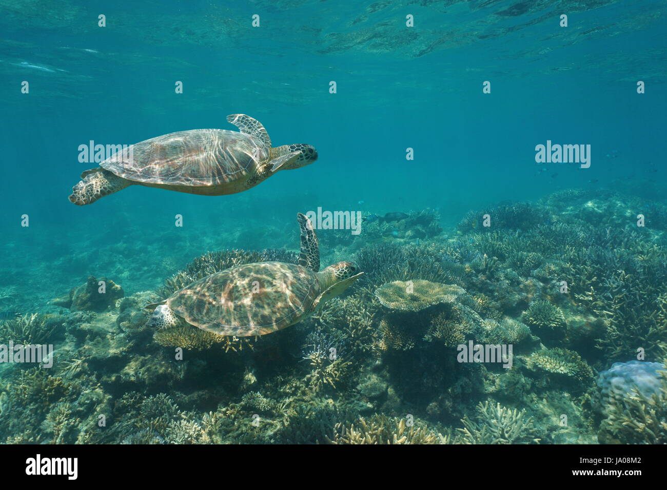 Two green sea turtles Chelonia mydas under the water swims over a coral reef, south Pacific ocean, New Caledonia, - Stock Image
