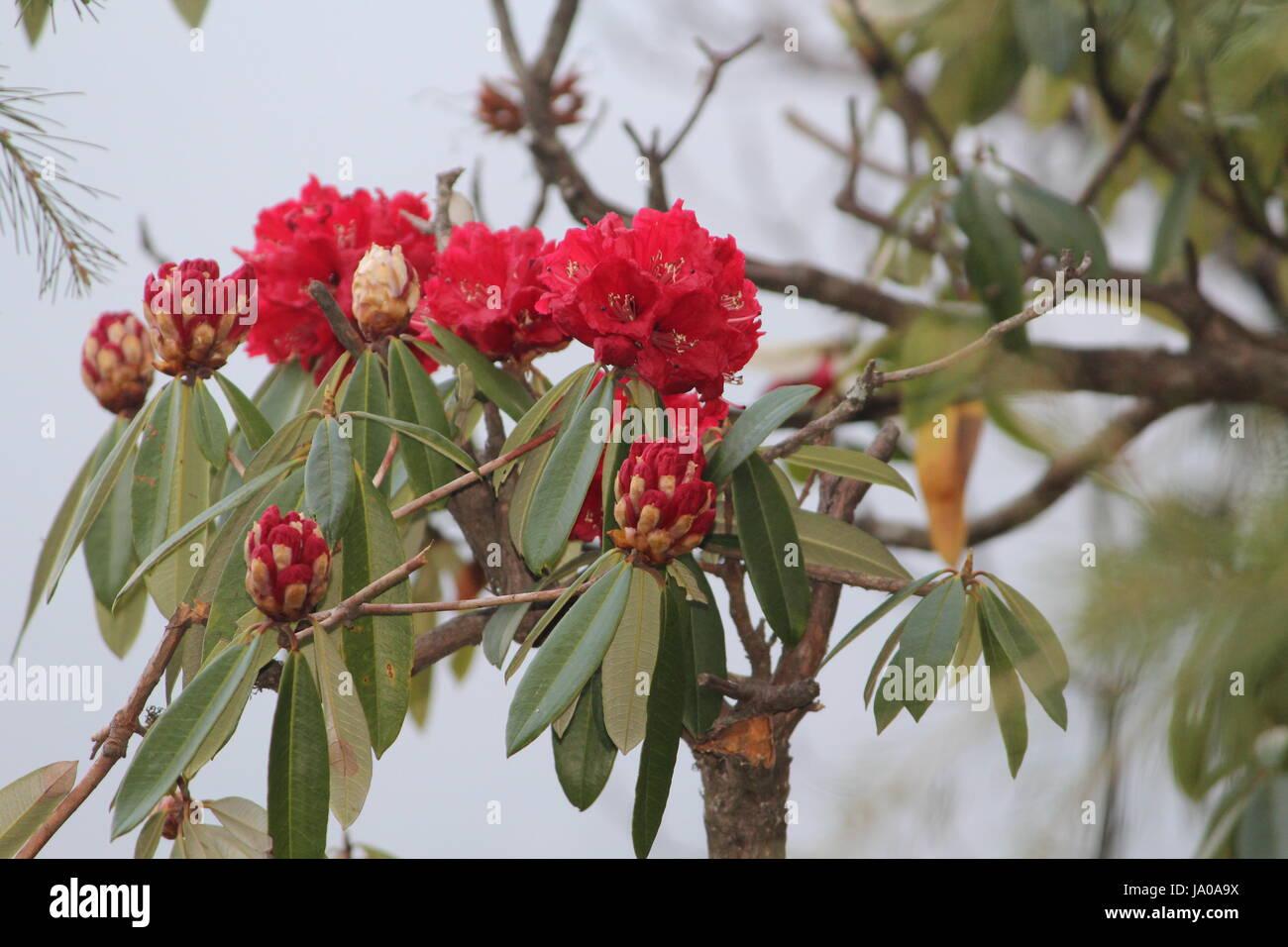 rhododendron arboreum (burans) - Stock Image
