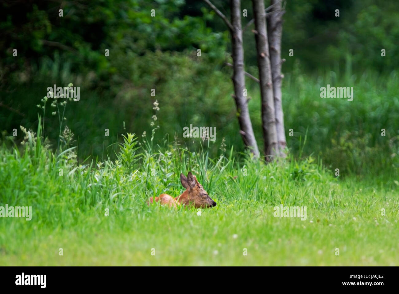 Young Roe deer buck sleeping in grass - Stock Image