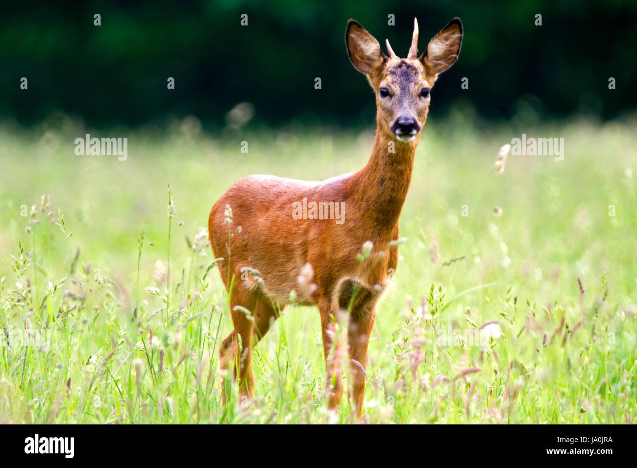 Young Roe deer buck - Stock Image