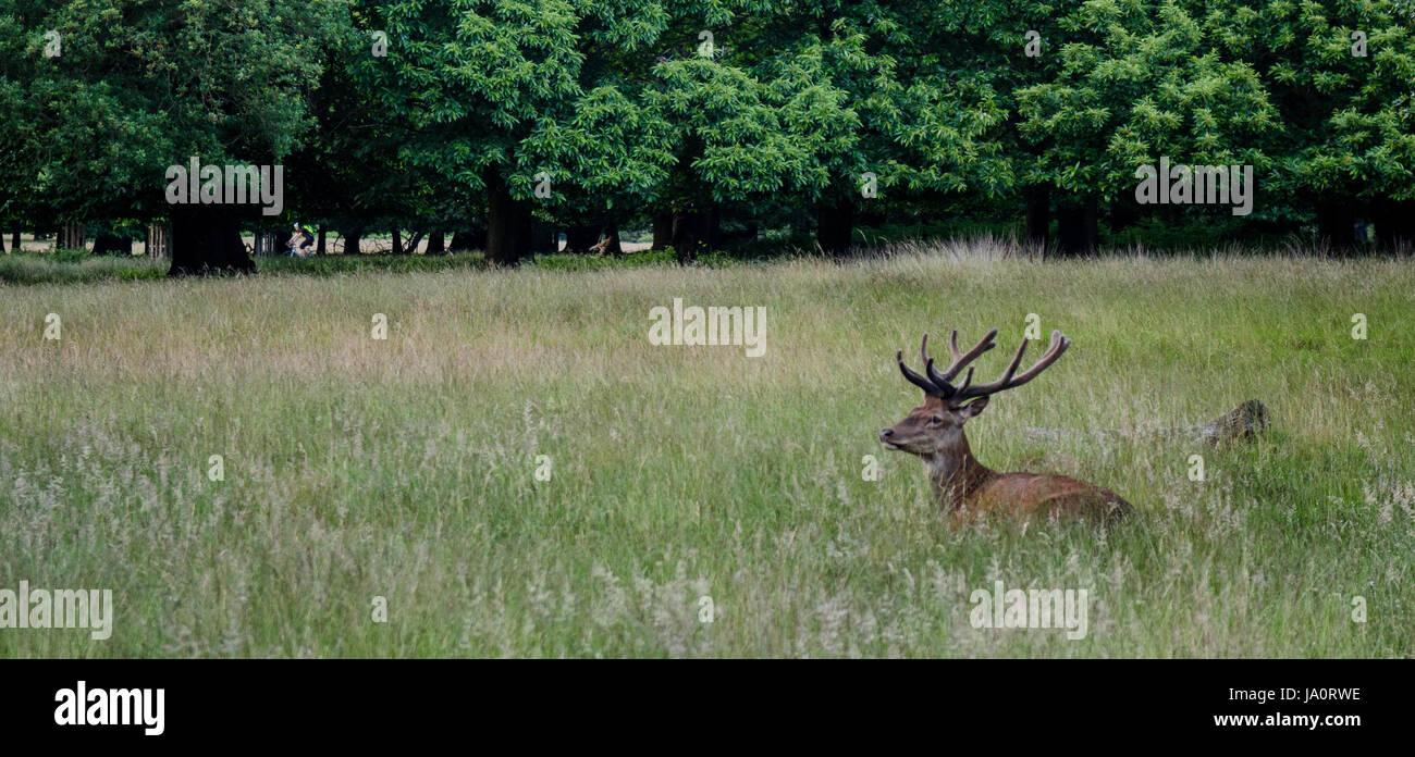 Deer resting half hidden in grassland in London's Richmond Park. - Stock Image