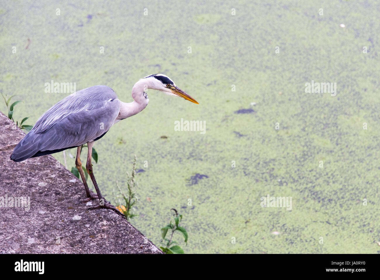 A heron waits for fish on the towpath of the Grand Union Canal at Ladbroke Grove in West London. - Stock Image